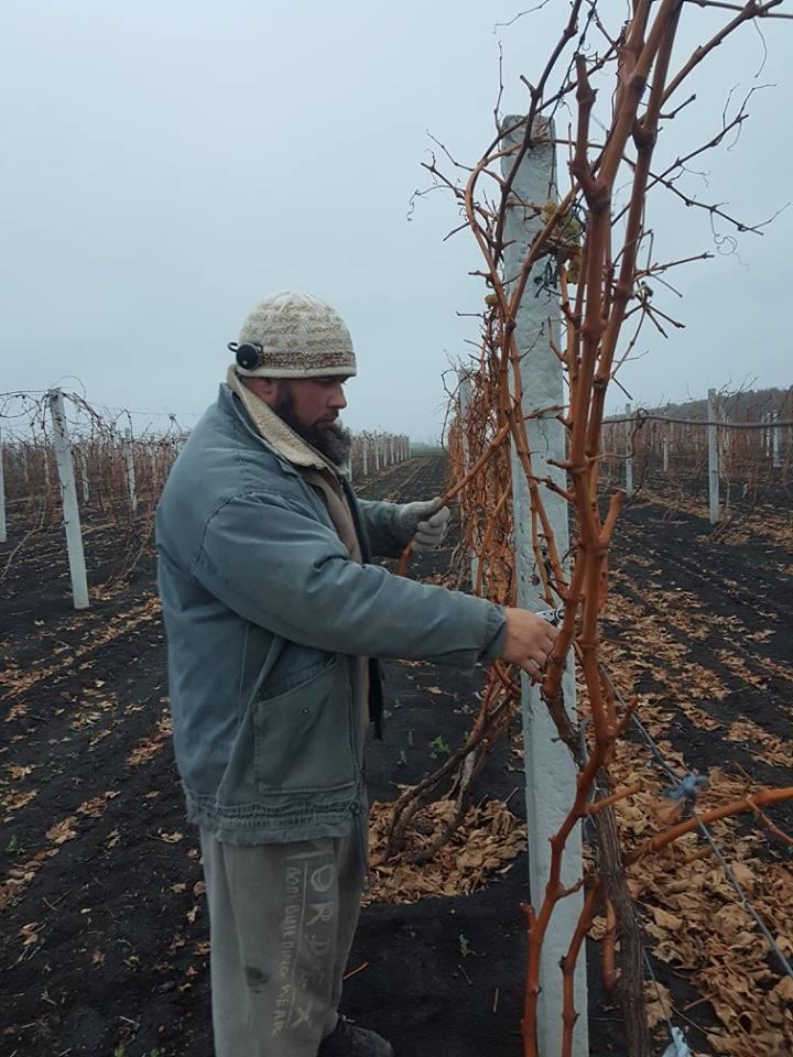 Осіння обрізка виноградника