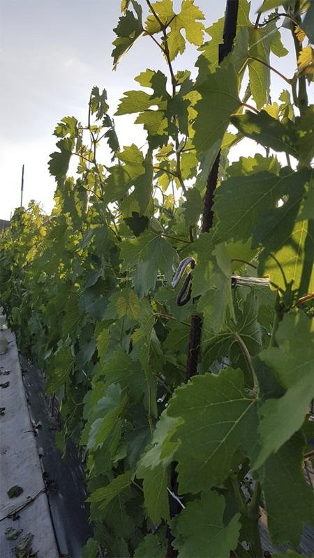Виноградна шкілка