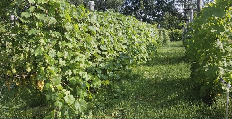 Формування винограду зі звисаючим приростом.