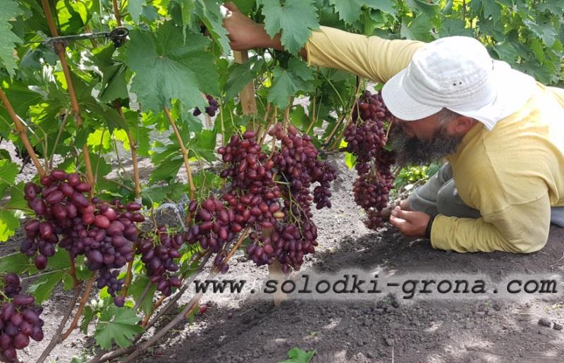 Ревізія виноградника