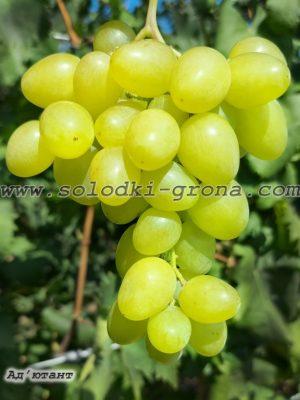 виноград Ад'ютант / Adjutant