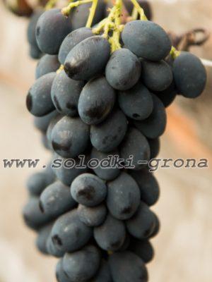 виноград Адмірал