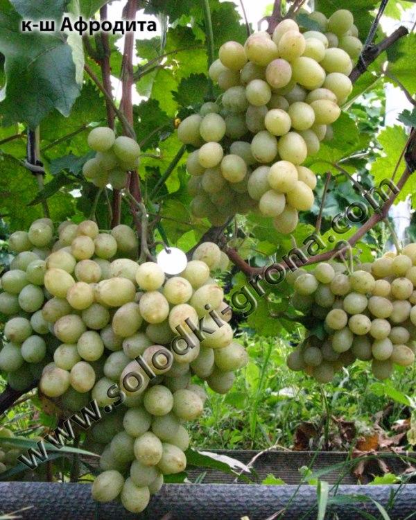 виноград Афродіта