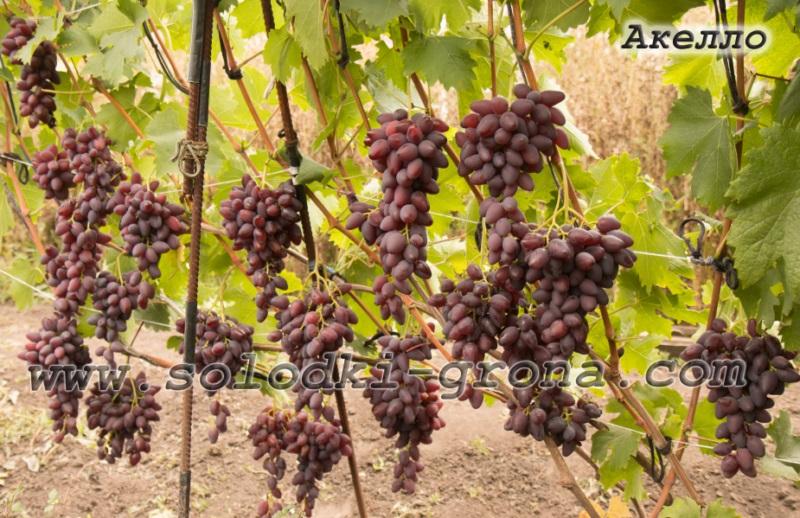 виноград Акелло