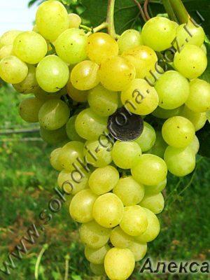 виноград Алекса рання / Alex early