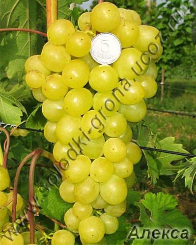 виноград Алекса рання
