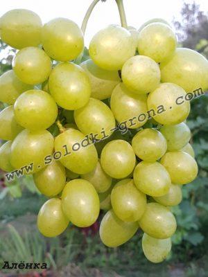 виноград Альонка