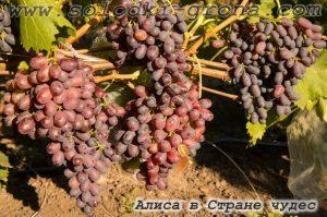 виноград Аліса в Країні чудес