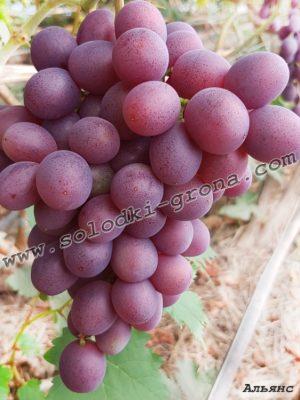 виноград Альянс / Alliance