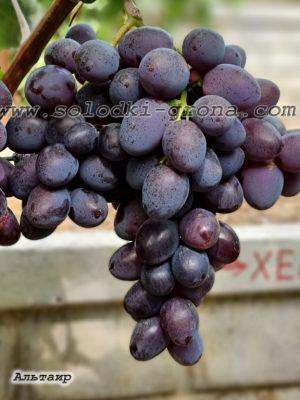 виноград Альтаїр / Altair