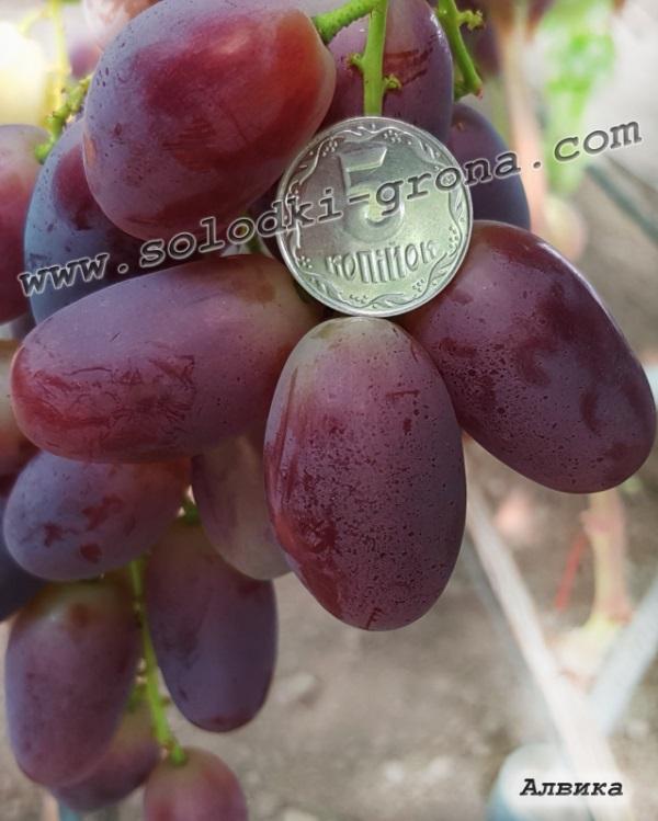 виноград Алвіка