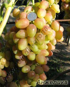 виноград Анжеліка