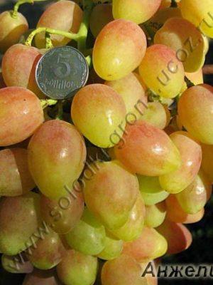 виноград Анжеліка / Anzhelіka