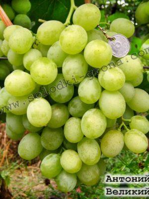 виноград Антоній Великий