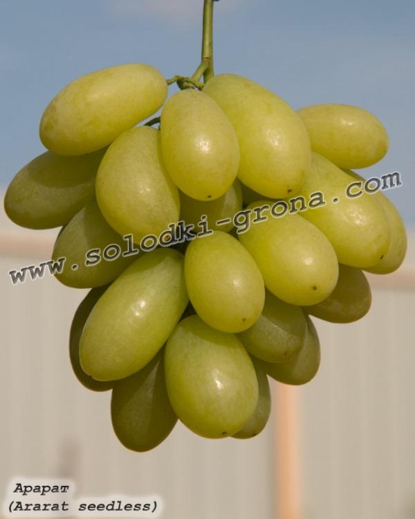 виноград Арарат