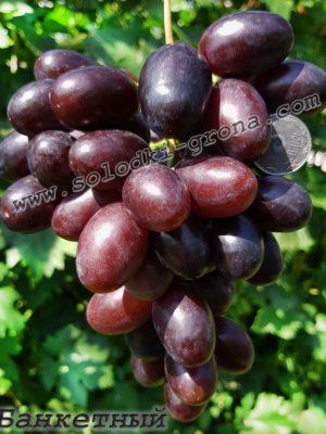 виноград Банкетний / Banqueting