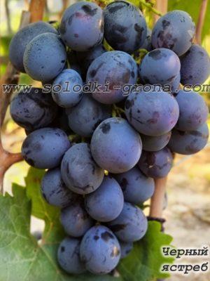 виноград Чорний ястреб