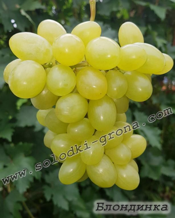 виноград Блондинка