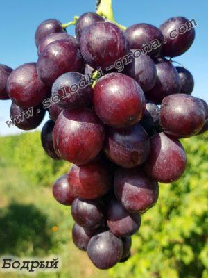 виноград Бодрий / Bodriy