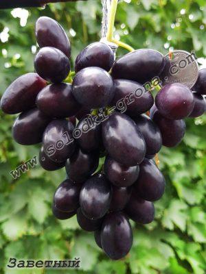 виноград Заветний
