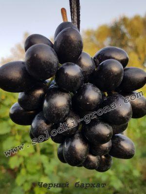 виноград Чорний бархат / Black velvet