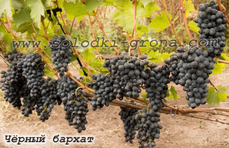 виноград Чорний бархат