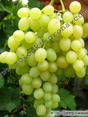 виноград Цитронний