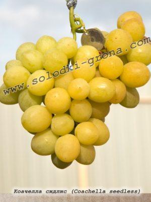 виноград Коачелла