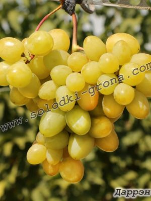 виноград Даррен / Darren