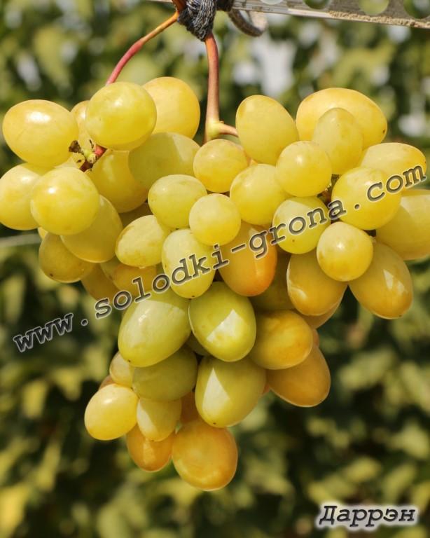 виноград Даррен