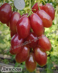 виноград Діксон