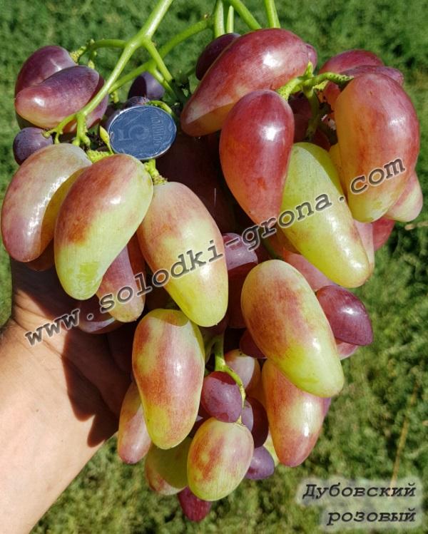 виноград Дубовський рожевий