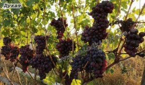 виноград Дукат