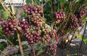 виноград Джаконда