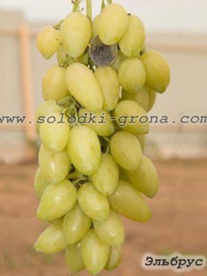 виноград Ельбрус