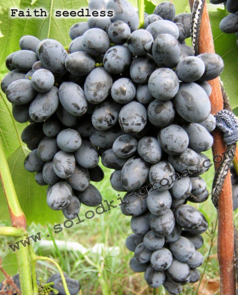 виноград Фейз