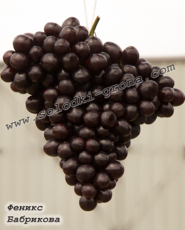 виноград Фенікс (Бабрикова)