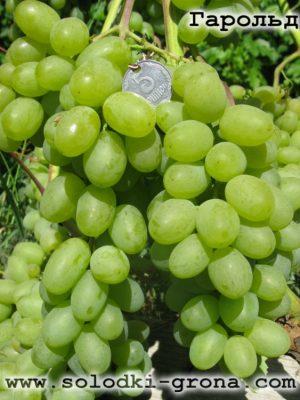 виноград Гарольд / Harold