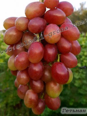 виноград Гетьман