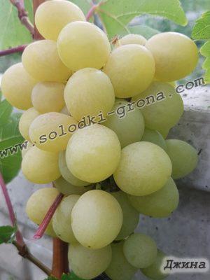виноград Джина / Dzhina