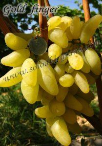 виноград Голд фінгер