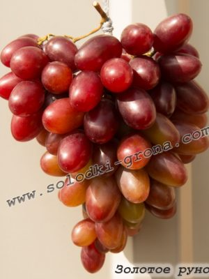 виноград Золоте руно