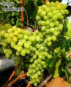 виноград Хоуп
