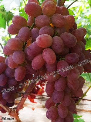 виноград Ібіца