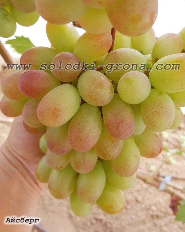 виноград Айсберг