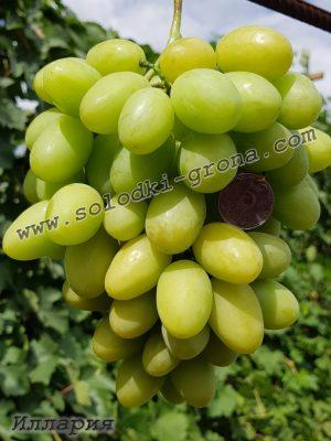 виноград Ілларія