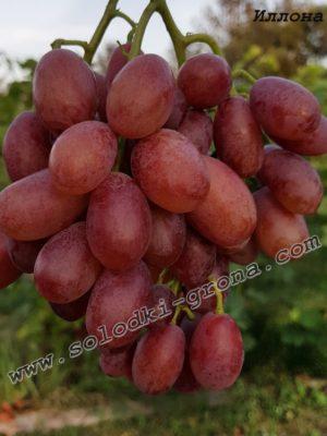 виноград Іллона