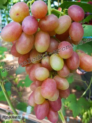 виноград Іранець