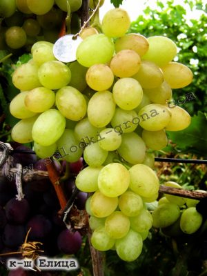 виноград Єліца