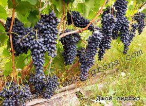 виноград Джой